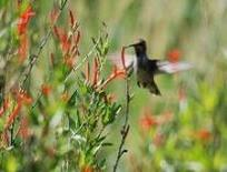 female hummingbird at flame acanthus
