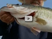 close up of large bass in man's grasp