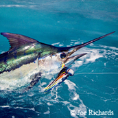 blue marlin in water