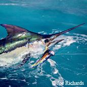 blue marlin in water