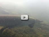 alligator gar swimming
