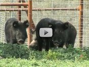 feral hogs in a pen