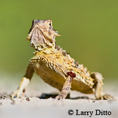 Texas horned lizard, green background
