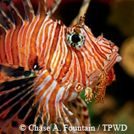 striped lionfish close-up