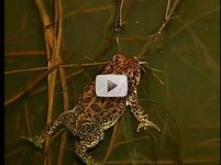 close up frog in shallow water