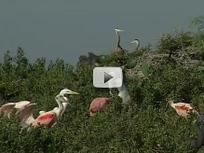 spoonbills, egrets on a rookery island