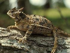 horned lizard close-up