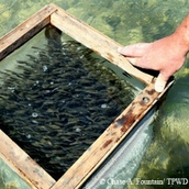 fish fingerlings awaiting release