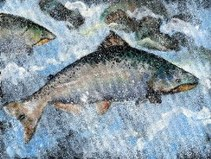 king salmon painting