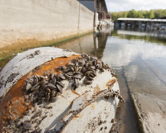 Zebra mussels on boat trailer