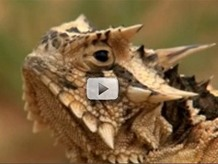 horned lizard up close