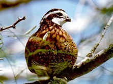 quailbobwhite-ptt-318x239_crop.jpg