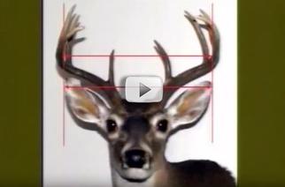 measuring antlers