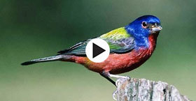 painted bunting bird with video play button