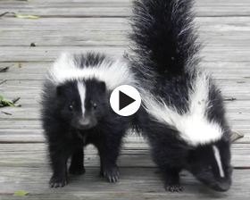 2 baby skunks