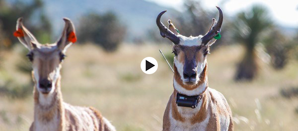 pronghorn video horiz