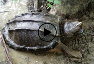 alligator snapping turtle video