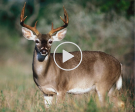 deer forecast video