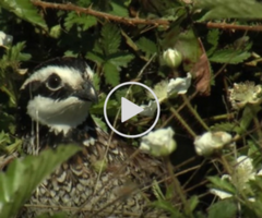 quail video link
