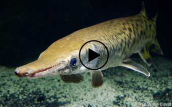 Alligator gar, video link