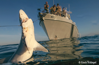 Game Wardens pulling up a long line with a shark hooked on it, link to story