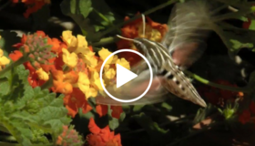 butterfly on lantana flower, video link