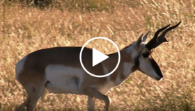 pronghorn, video link