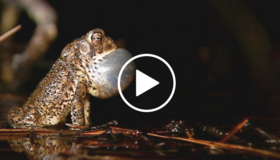 frog calling, video link