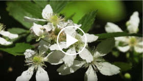 white flowers, video link