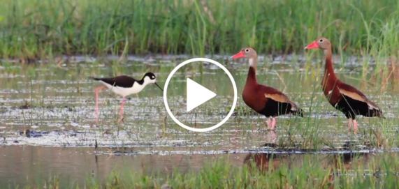 2 ducks and a wading bird, video link