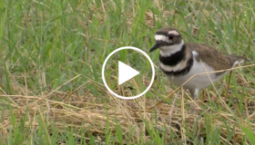 bird in grass, video link