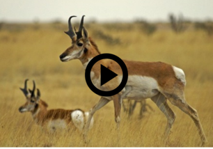 two antelope with horns, play button