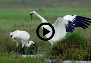 male whooping crane dancing in front of female, play button