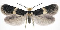 EH moth