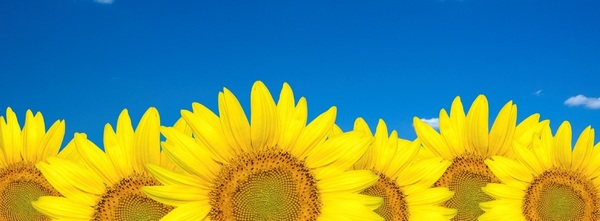 Sunflower header cropped