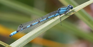 Damselfly (c) Nick Ford