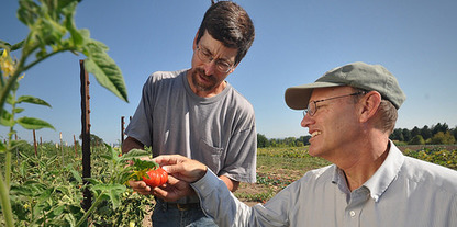 Two farmers inspecting tomatoes