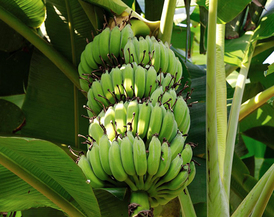 Tropical bananas