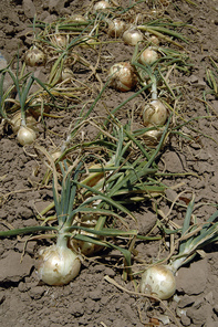 Fresh from the Field NIFA Impacts MRF Impacts Onions USDA photo