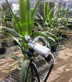 Measuring water-use efficiency. Tony Studer's method speeds up the process significantly. Photo courtesy of University of Illinois.