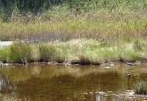 Bird in Marsh