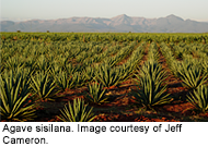 Agave sisilana growing in East Africa.