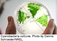 Cyanobacteria Cultrues