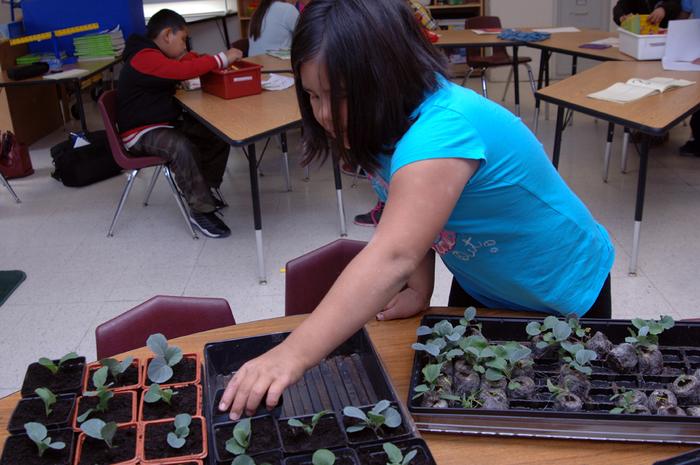 Student transplanting seedlings