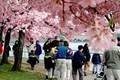 Tourists enjoy the annual cherry blossoms along the Tidal Basin (Photo Destination DC)