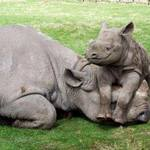 Rhinos in South Africa - courtesy of US Embassy in South Africa