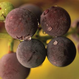 how to start grape seeds