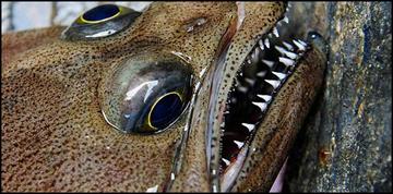AFSC flatfish lips
