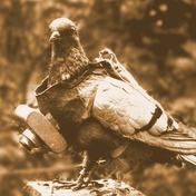 Avian Intelligence pigeon