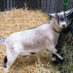 Evergreen Pygmy Goat Show